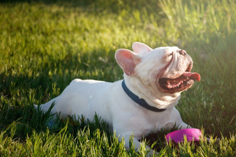 French bulldog with smiley faces lay down on grass. Happy dog portrait with copy space.