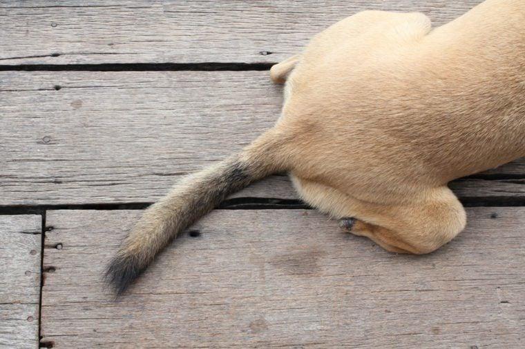 Dog tail on wood floor
