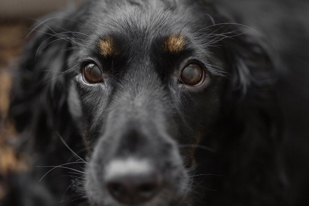 Closeup portrait of beautiful black spaniel dog. Focus on eyes. The big dog wants to find family and leave the dog shelter, waiting for the hosts.