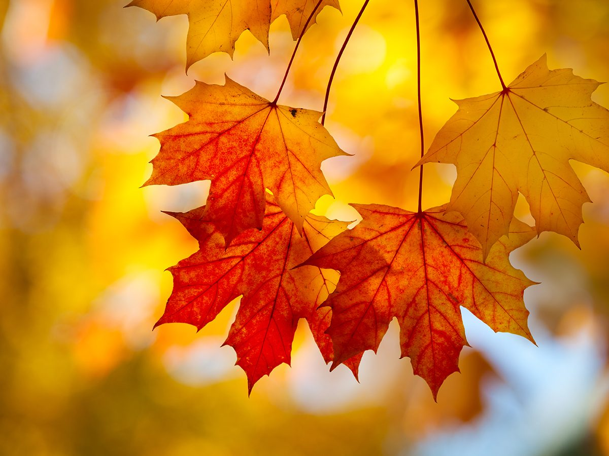 Fall colours - sugar maple leaf changing