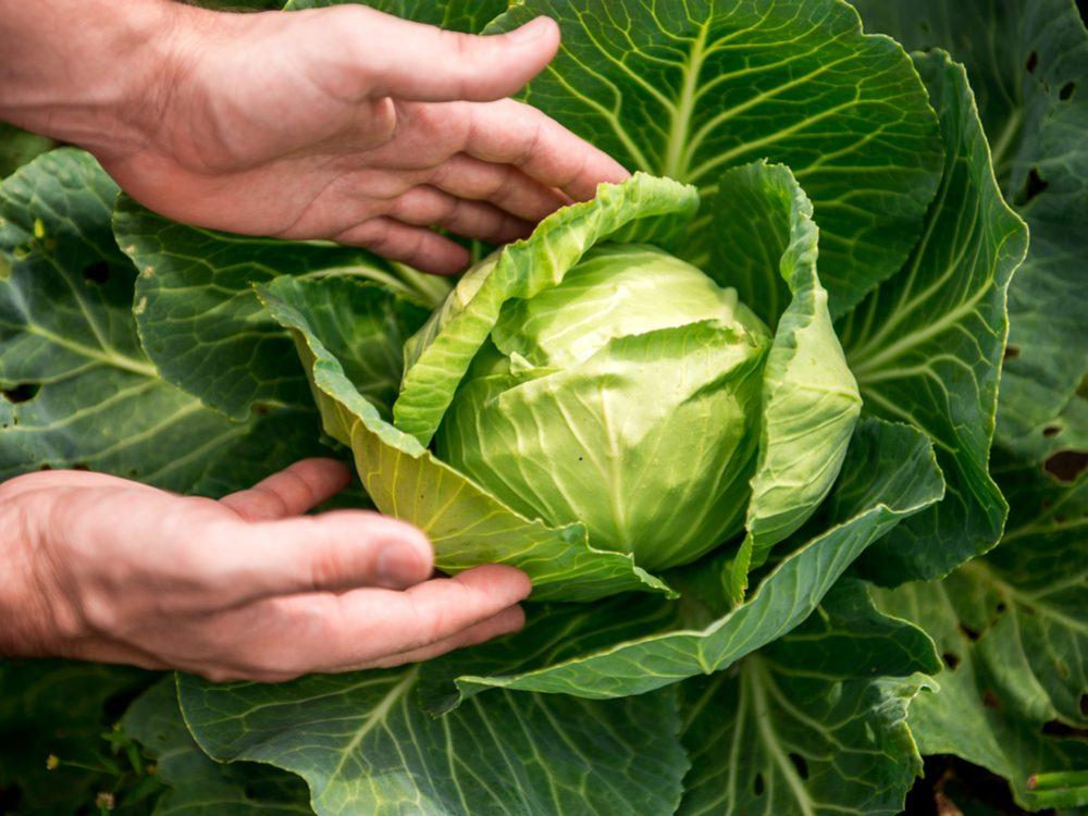 Harvesting green cabbage