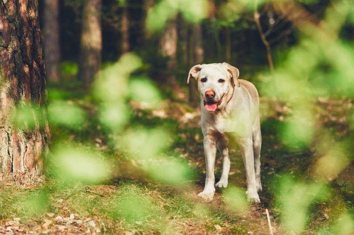 Yellow labrador retriever in forest during sunny summer day.