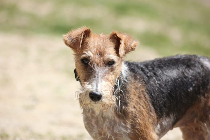 The miniature Schnauzer dog on a walk