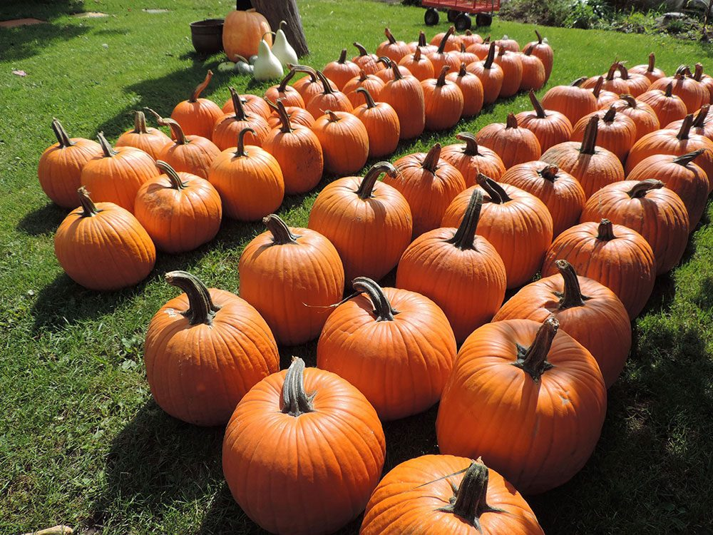 Row of pumpkins