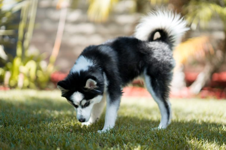 Pomsky dog breed