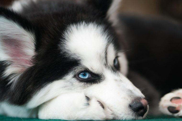 Pomsky dog