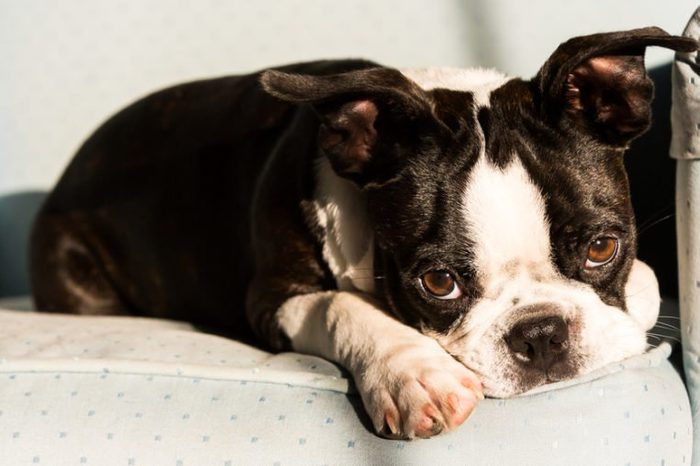 A Boston Terrier puppy lays on an armchair with a sad expression on his face/Sad Eyes