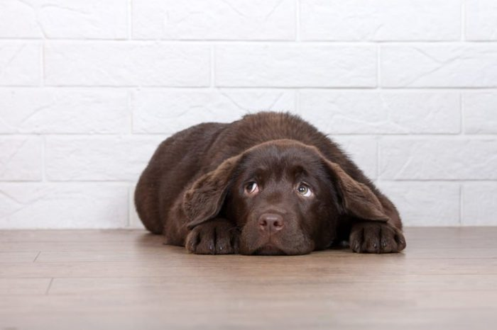 scared brown labrador puppy lying on the floor