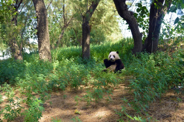 A panda in a forest