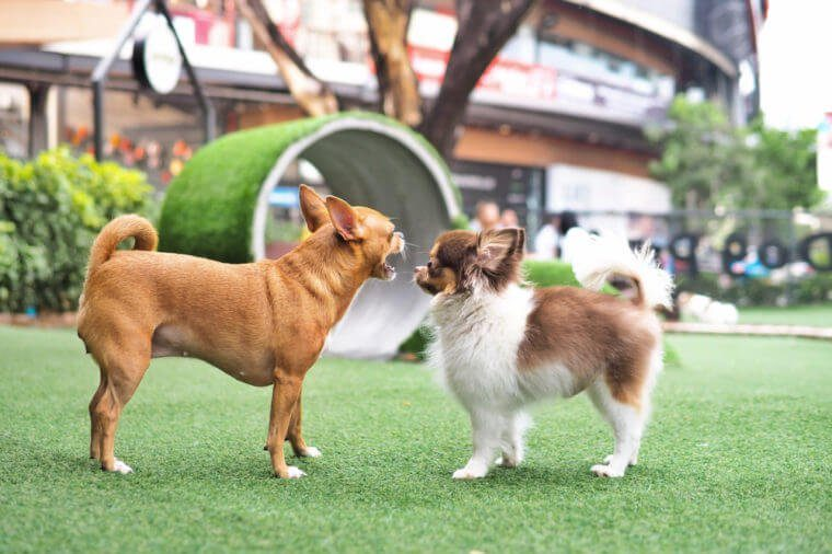 Two pure breed chihuahua dogs threatening to each other at the dog park