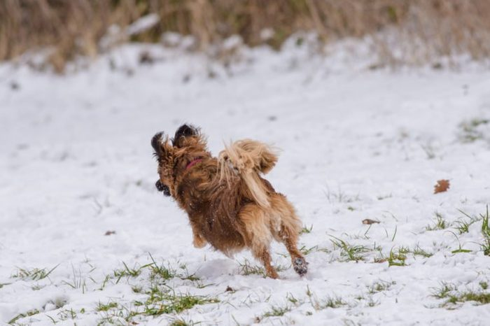 A small ginger / brown dog running away in the snow