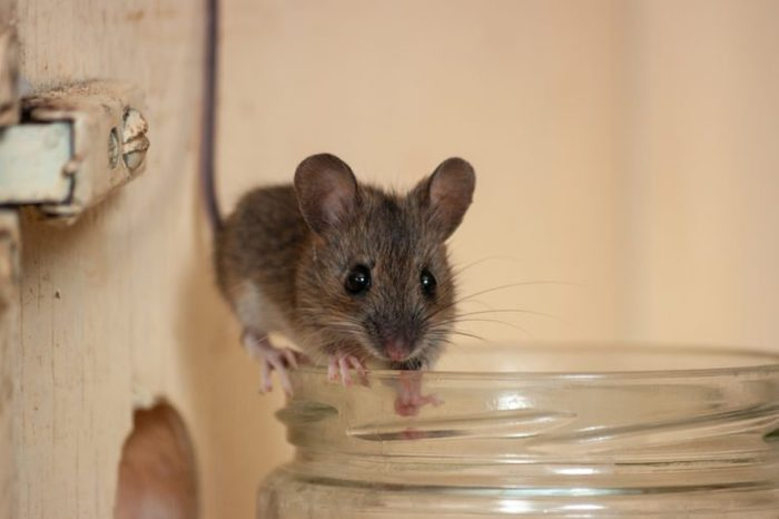 House mouse on the edge of a glass jar. Variation 2