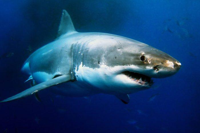 Great White Shark Underwater Photo