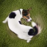 This Is Why Dogs Chase Their Own Tails
