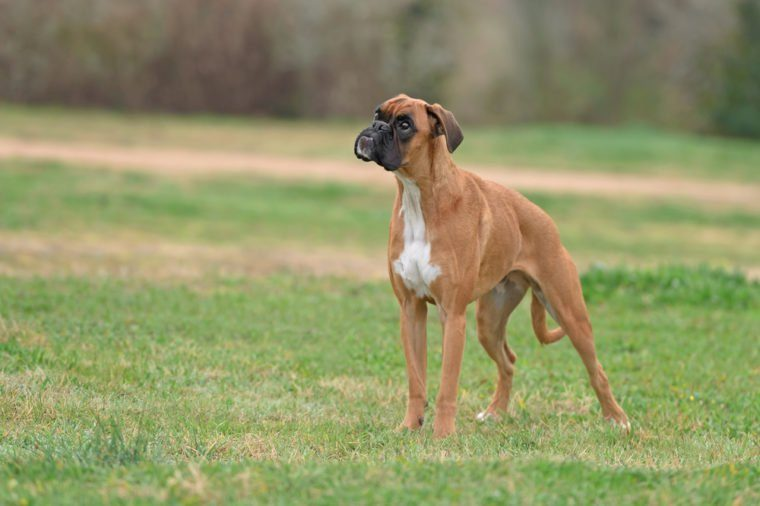Female young boxer dog in park playing with a ball