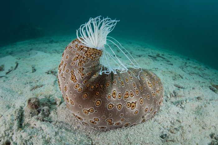 A common, large sea cucumber (Bohadschia argus) is easy to identify due to its distinctive pattern. This species can extrude sticky defensive threads called cuverian tubules.