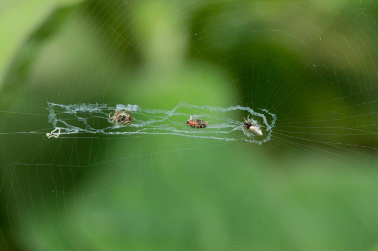 Web of Cyclosa Spider (Cyclosa sp.)