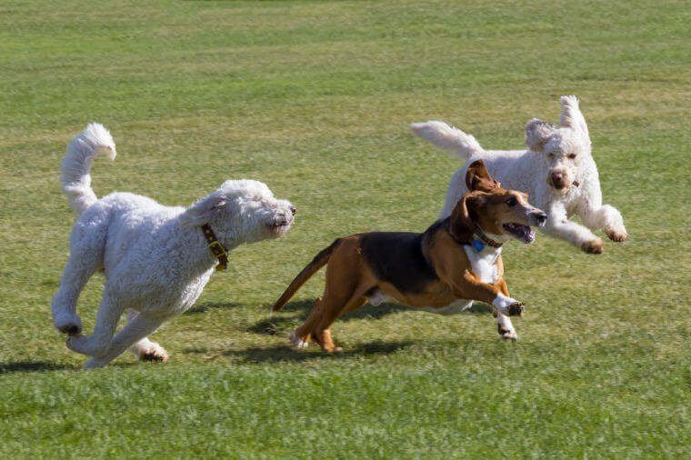 Dogs at play - basset hound and poodles have fun running in a Colorado off-leash dog park