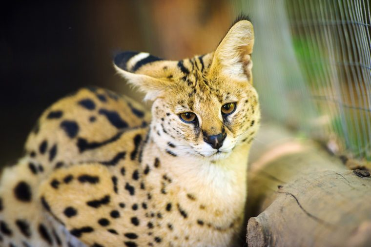 Funny serval cat