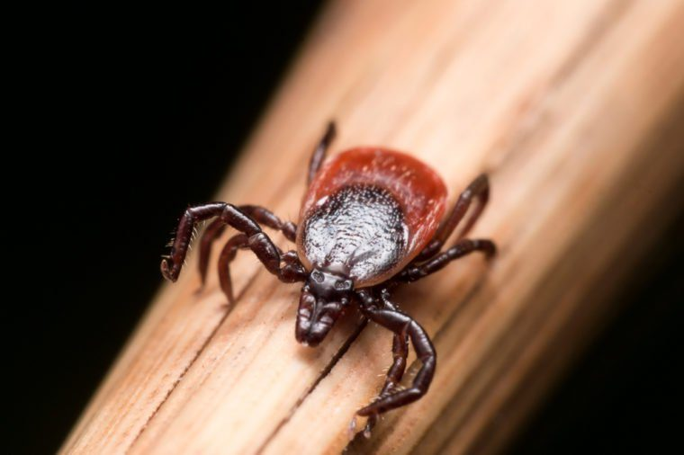 Close up photo of adult female deer tick crawling on piece of straw