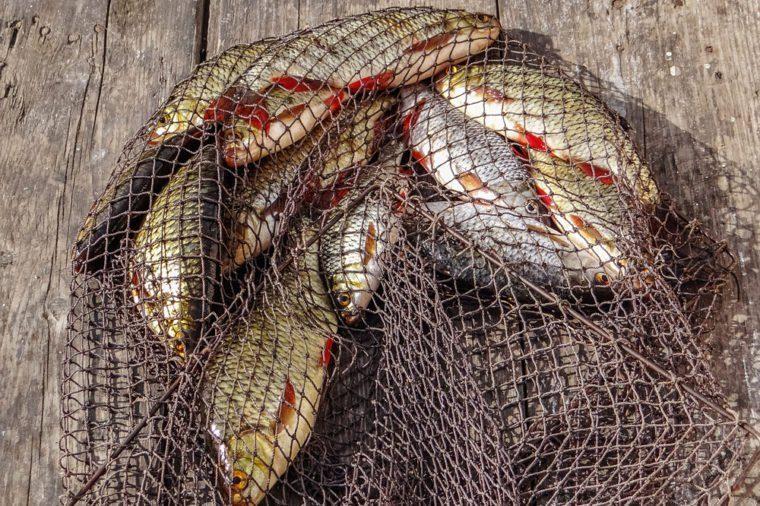 Just caught rudd lying on fishing net.