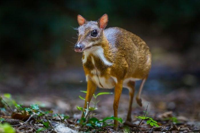 Lesser mouse-deer (Tragulus kanchil) walking in real nature at Kengkracharn National Park,Thailand