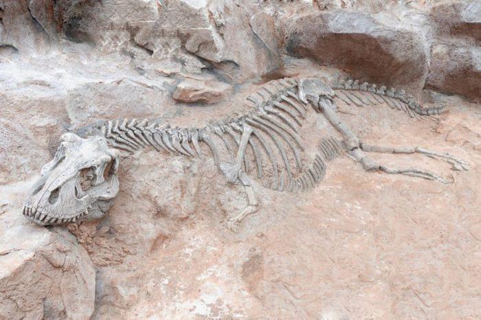 Dinosaur skeleton in ground stone Fossil Tyrannosaurus archaeological excavations. Prehistoric monster