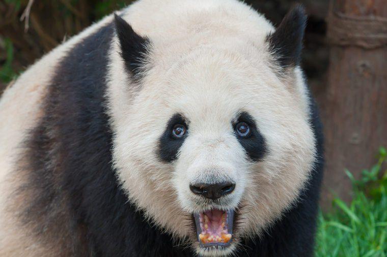 An adult giant panda bear