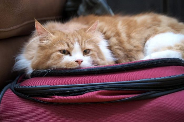 Close Up Portrait of Orange White Long Hair Bi-Color Traditional Doll Face Persian Cat with Orange Eyes Laying Down on Suitcase Looking Into Camera