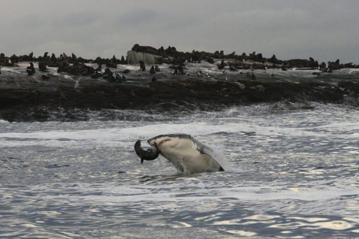 great white shark, Carcharodon carcharias, preying on Cape fur seal, Arctocephalus pusillus pusillus, at Seal Island, False Bay, South Africa, Atlantic Ocean