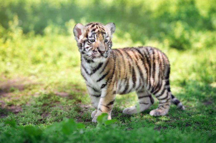 adorable siberian tiger cub standing outdoors