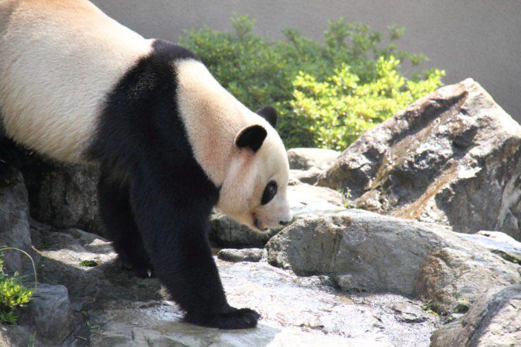 Panda walking around rocks and grasses