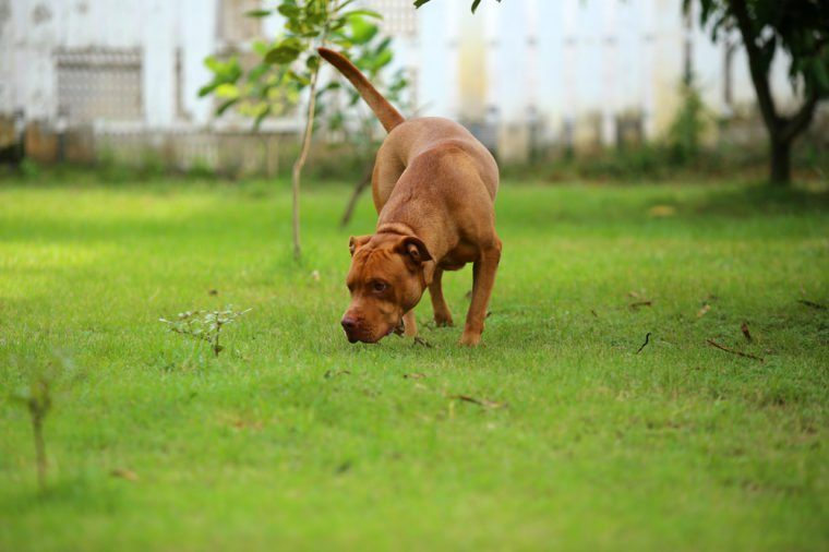 American Pit Bull Terrier, Dog smell something in the park
