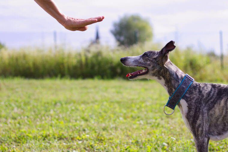 The owner commands her dog. Whippet trains the command to stay. Dog training outdoor.