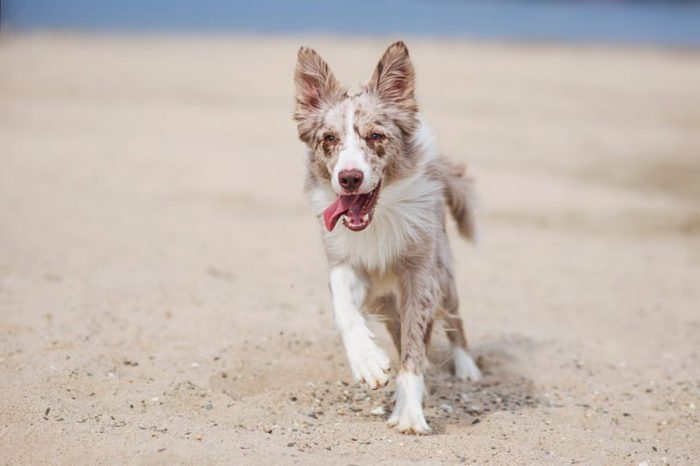 adorable Cute Border Collie Puppy on the beach.