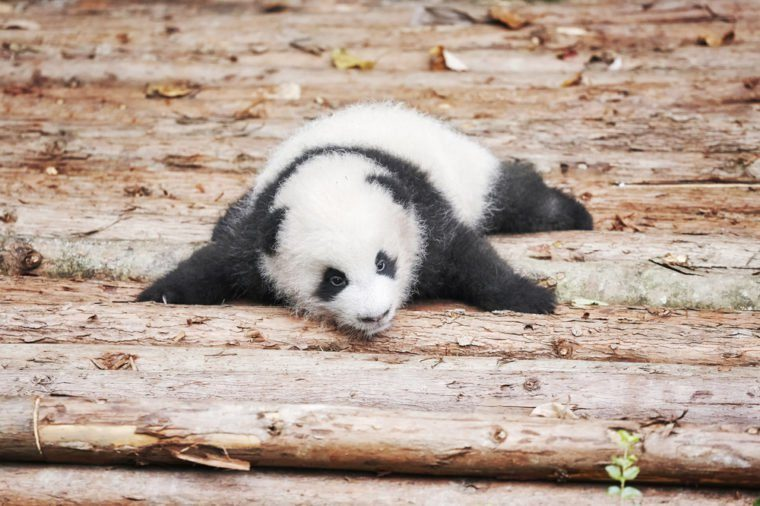 Picture of a cute giant panda baby.