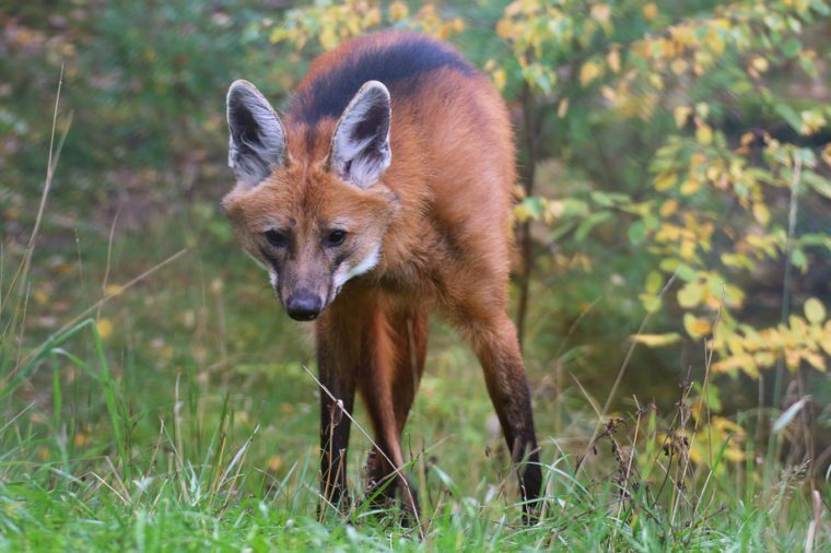 A male maned wolf standing in the forest