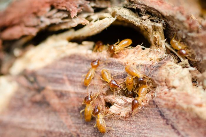 Termite attack - close up of termites