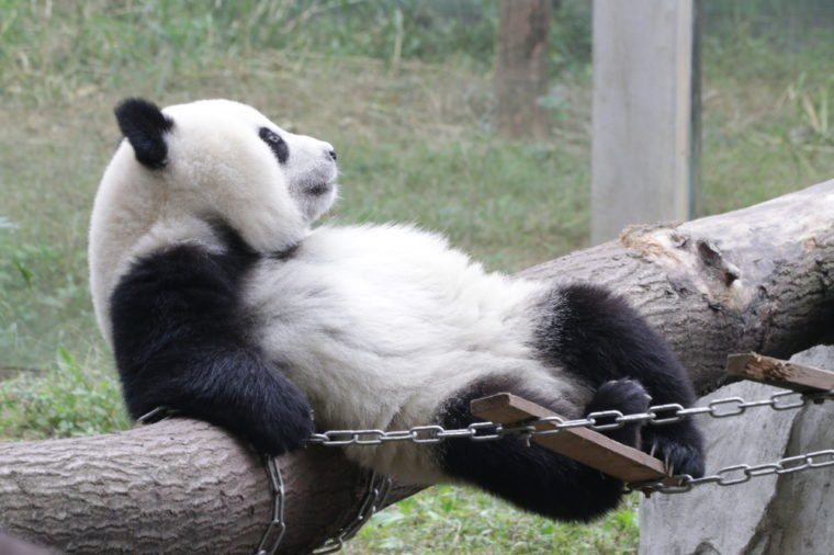 Playful Giant Panda Cub is Relaxing in the Playground