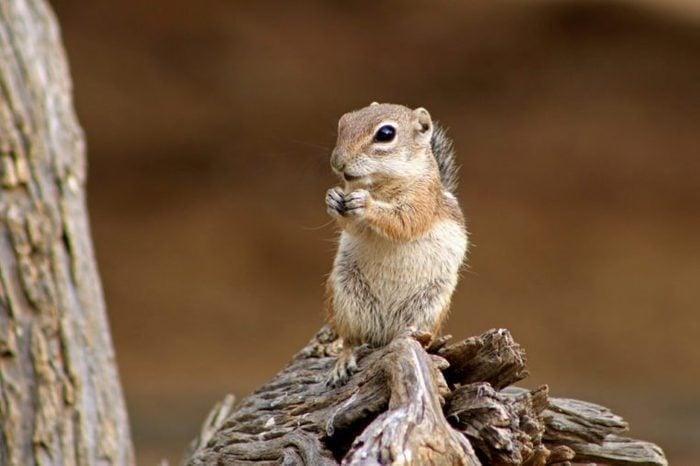 Harris Antelope Squirrel