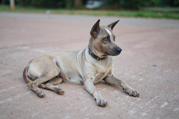 pitbull dog at sakon nakon thailand