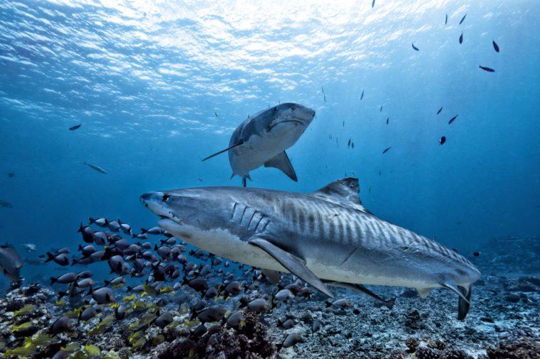 Tiger shark underwater