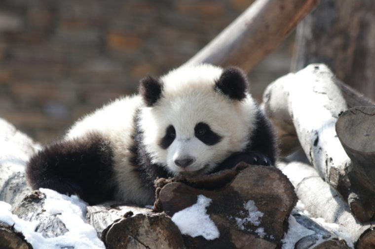 Little Giant Panda Cub is Playing in the Snow, New Wolong Breeding Panda Base, China