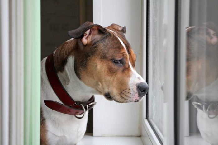 The dog looks out the window. American Staffordshire Terrier is waiting for the owner.