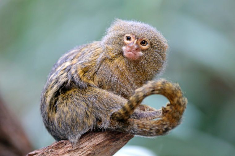 Pygmee monkey portrait