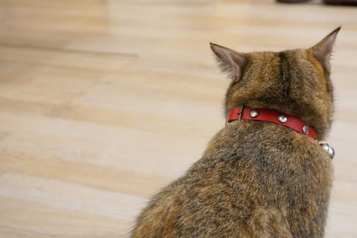 Tabby cat turn back and sitting wooden floor
