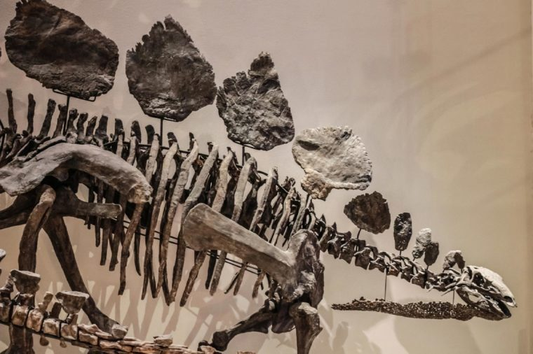 Tokyo, Japan - April 29 2017, Stegosaurus skeleton fossil at National Museum of Nature and Science. Stegosaurus was a large, plant-eating dinosaur that lived during the late Jurassic Period.