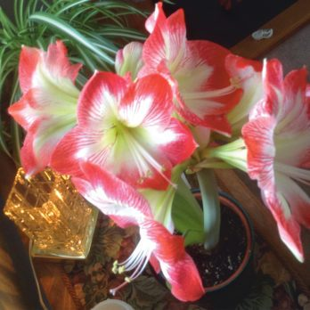 My Family's Christmas Tradition: The Great Amaryllis Growing Contest