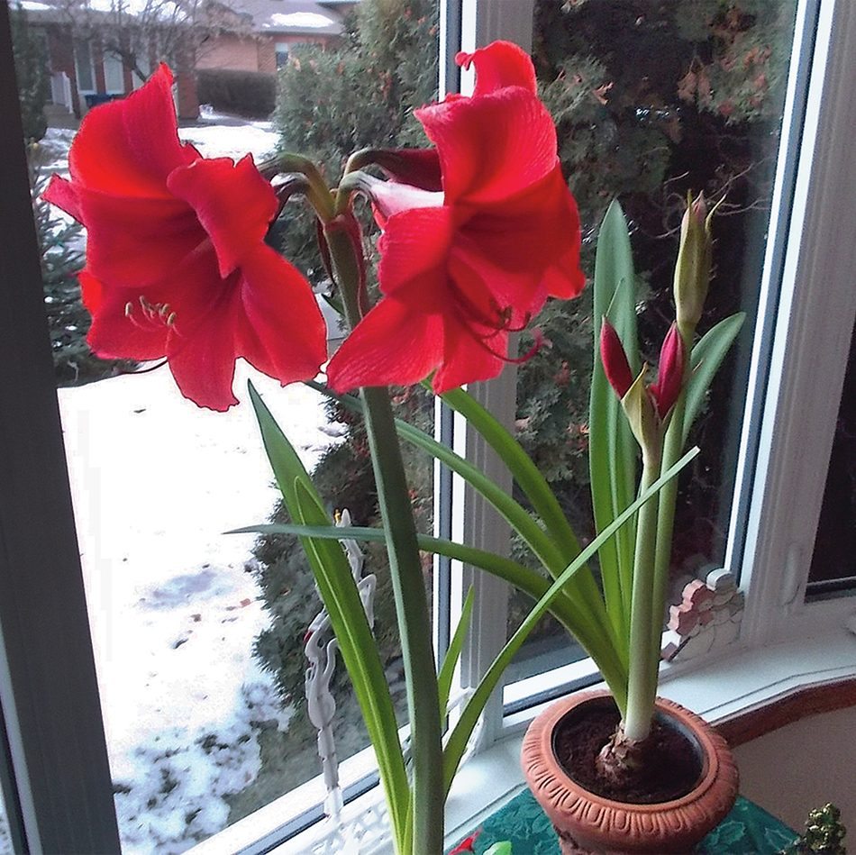Amaryllis growing: In bloom
