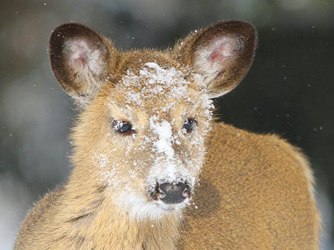 Photographing wildlife in winter: Deer